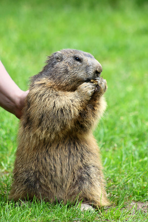Marmot Is Eating On The Grass Stock Photos