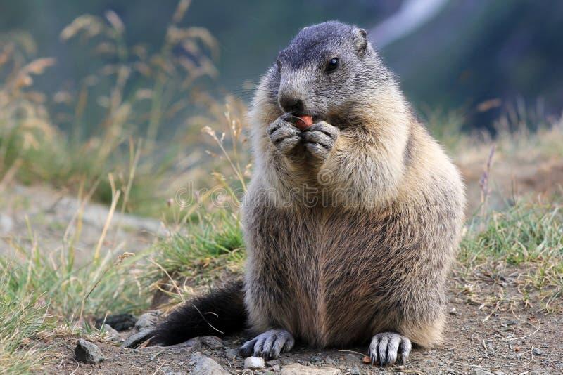 The marmot stock photos