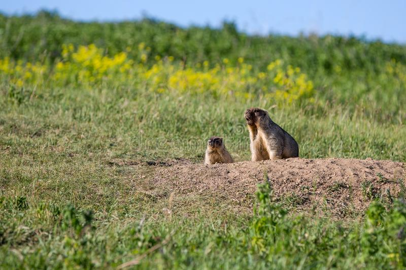 The marmot family looks out of the hole. Sunny summer day. Cute steppe animals. Field with herbs, blue sky stock photography