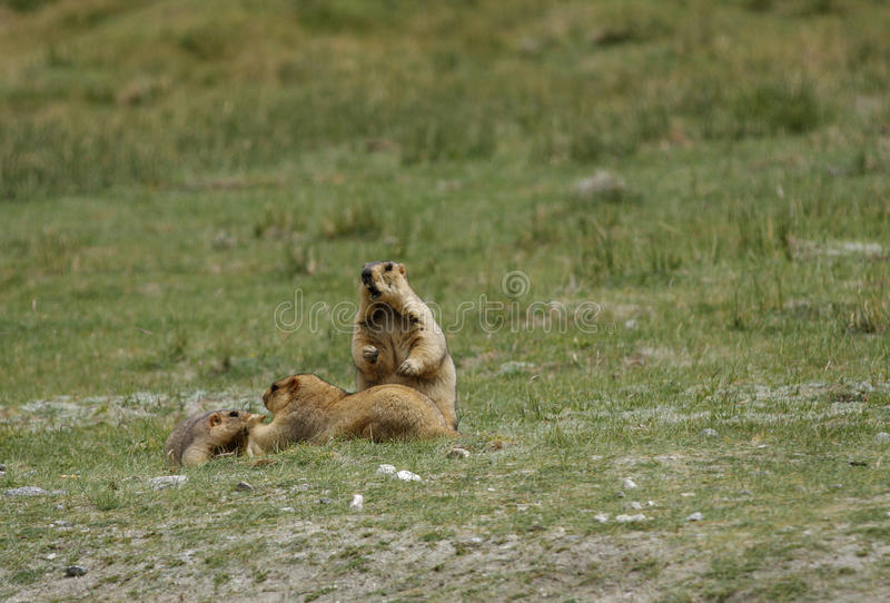 Download A Marmot Family Relaxing In The Grassland Of Ladakh Valley Stock Image - Image: 34220613