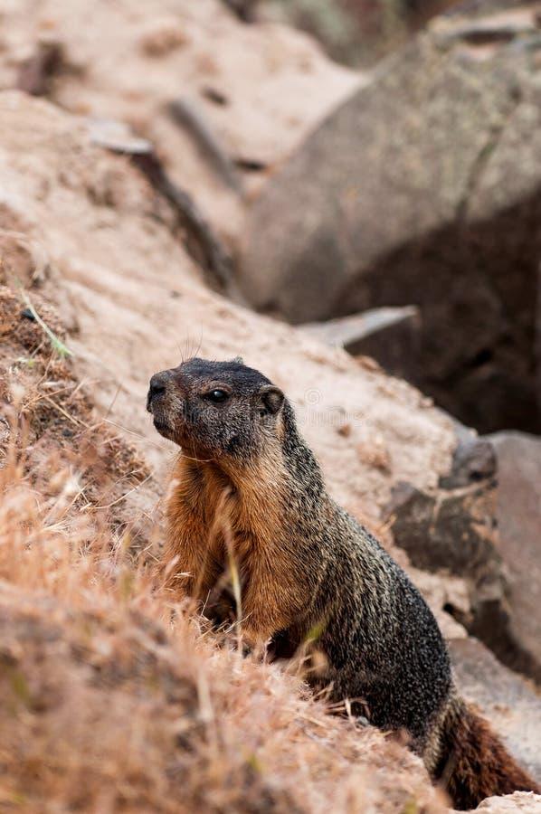 Download Marmot (giant Rock Squirrel) Climbing Stock Photo - Image: 39122065