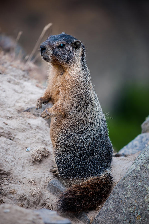 Marmot (giant rock squirrel) stand on two legs. An adult marmot (rock or mountain squirrel) seen standing on two legs. These marmots are giant squirrel that are royalty free stock photography