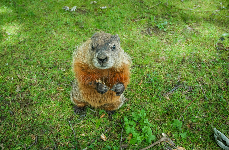 A marmot gopher standing up and looking at camera. stock image