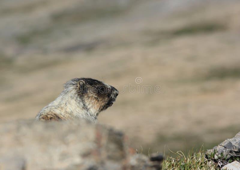 Marmot Head royalty free stock images
