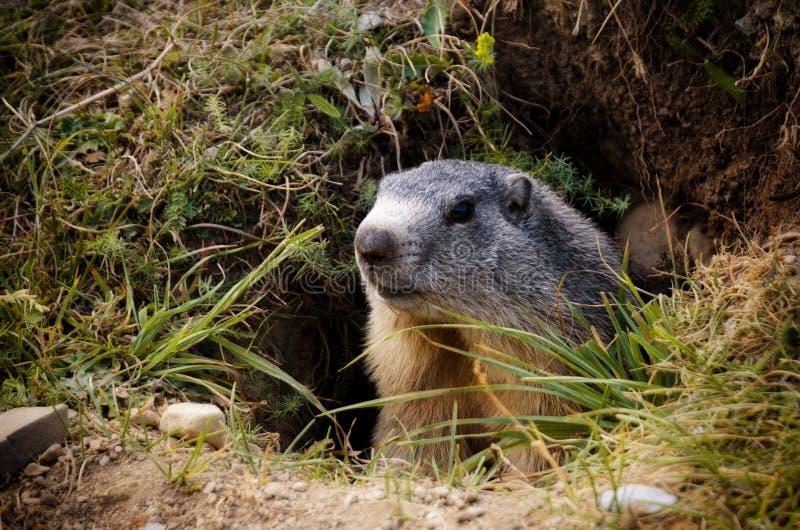 Marmot in het gras stock afbeelding