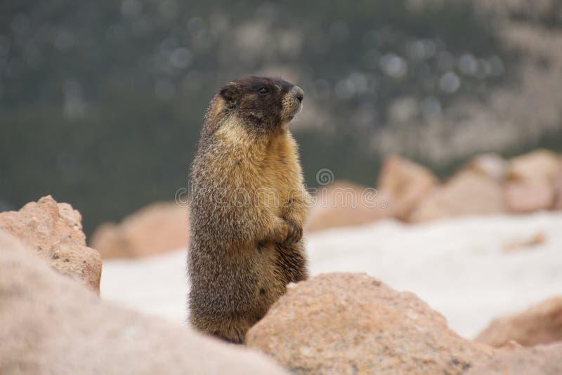 Marmot i rocksna arkivbild