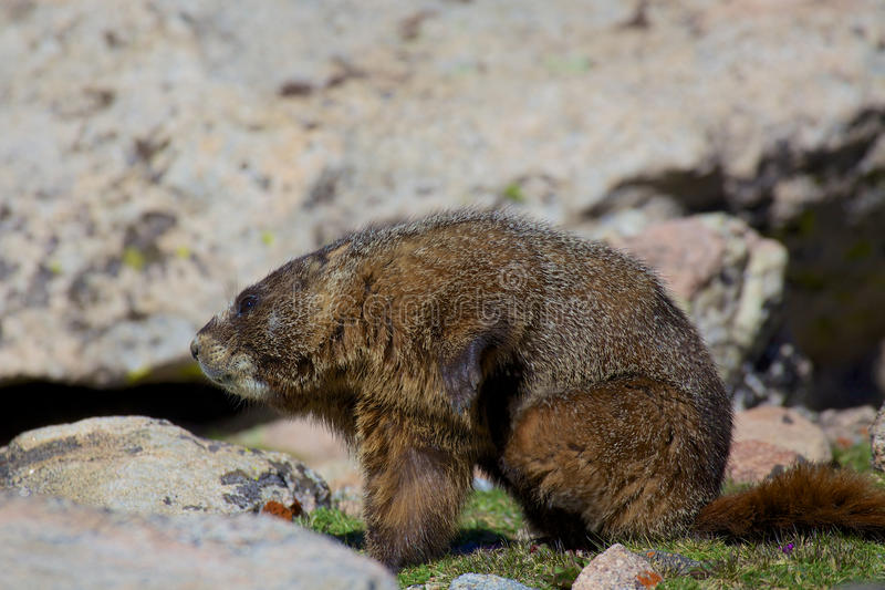 Download Marmot With and Itch stock image. Image of itch, colorado - 31855799