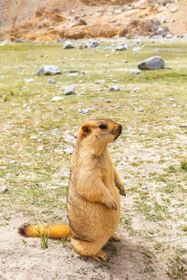 Marmot& x28 Marmota& x29  στην περιοχή λιμνών Pangong, Leh Ladakh, Ινδία στοκ εικόνες