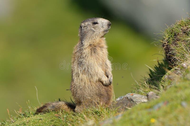Marmot (Marmota) stock afbeeldingen