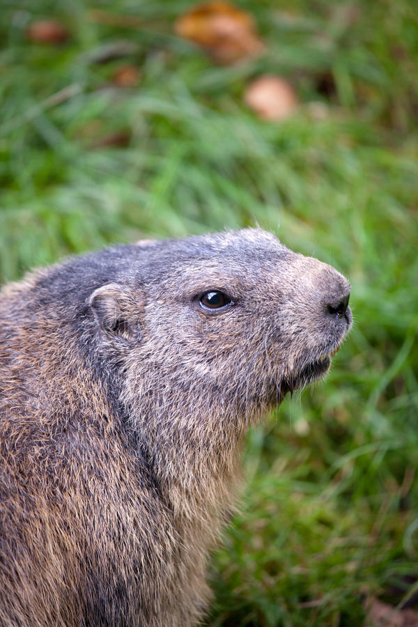 Download Marmot (Marmota marmota) stock image. Image of baby, green - 16607363