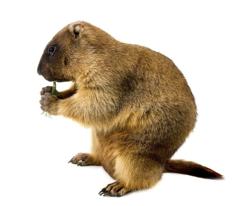 Marmot (Marmota steppe) on a white background