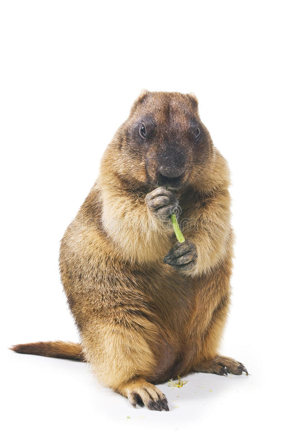 Download Marmot (Marmota Steppe) On A White Background Stock Image - Image: 17733257