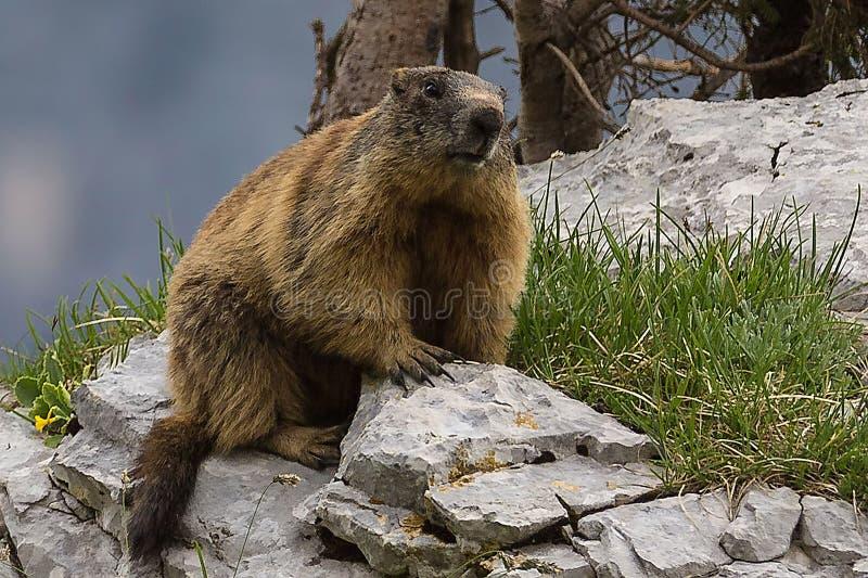 Marmot. Mountain wildlife at montasio.Italy stock photo