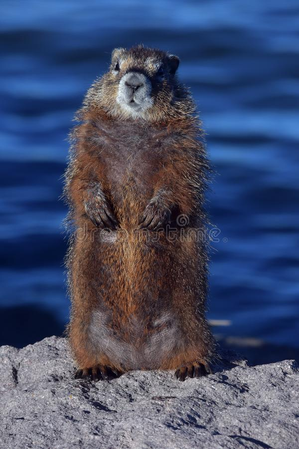 Free Marmot On Guard Duty Stock Photography - 132868962