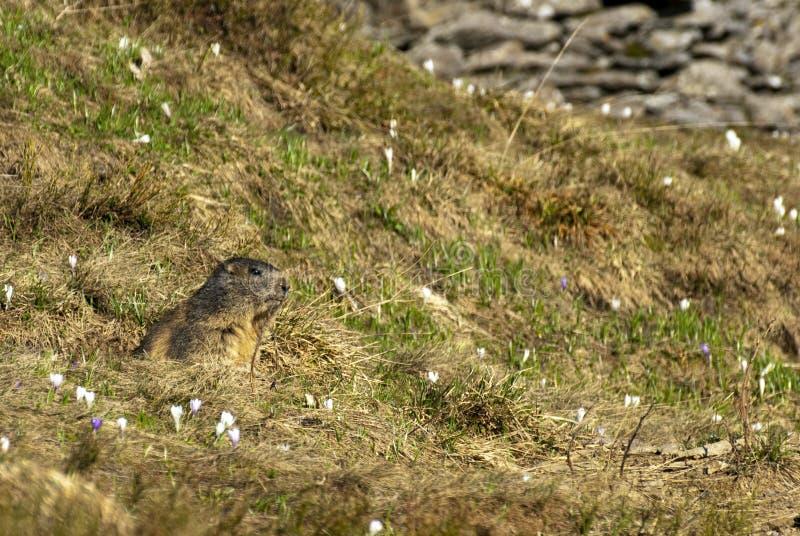 Marmot Onder Het Gras Stock Afbeeldingen