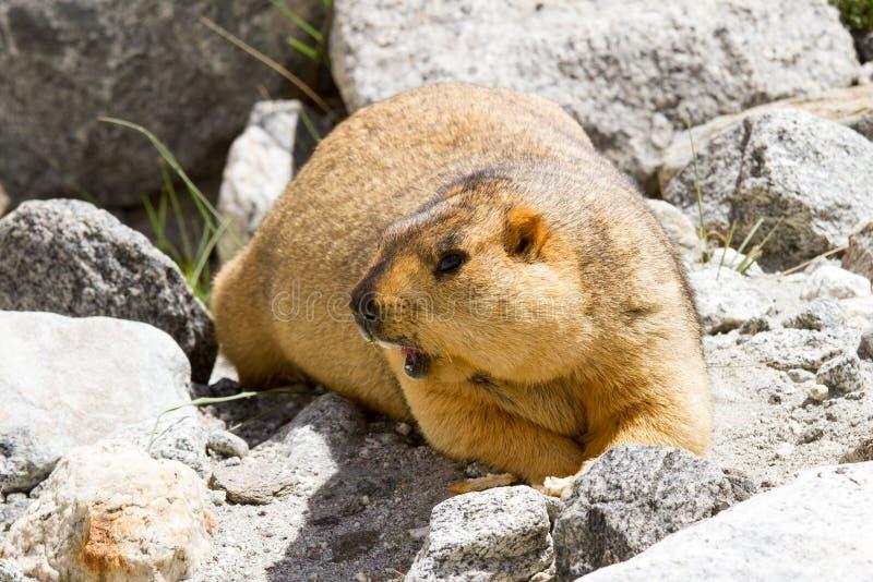 Marmot op de rotsen royalty-vrije stock foto's