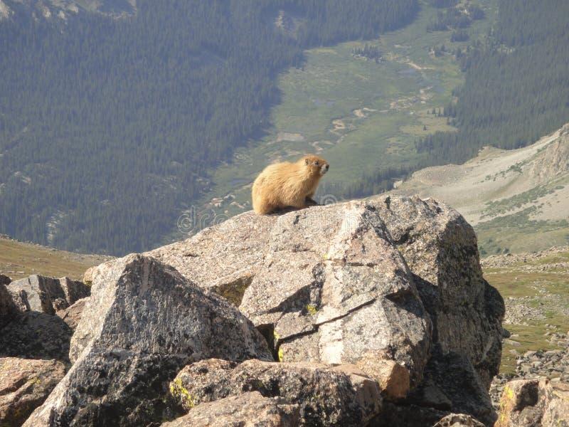 Marmot op Onderstel Belford stock foto