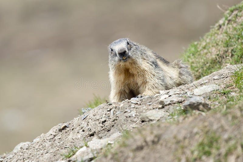 Download Marmot Portrait While Looking At You Stock Photo - Image of ground, animal: 37840870