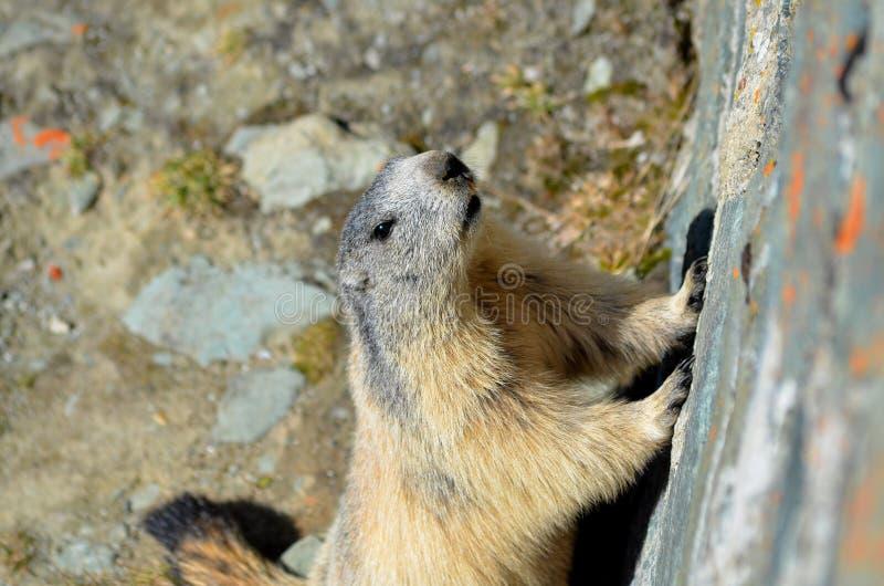 Marmot regarde très bien photos stock