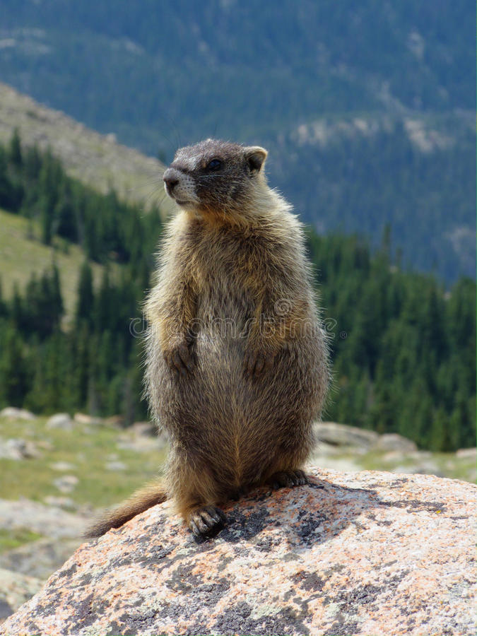 Download Marmot on a Rock stock image. Image of park, friendly - 26083287