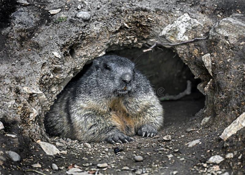 Marmot in seinem Loch 1 lizenzfreies stockfoto