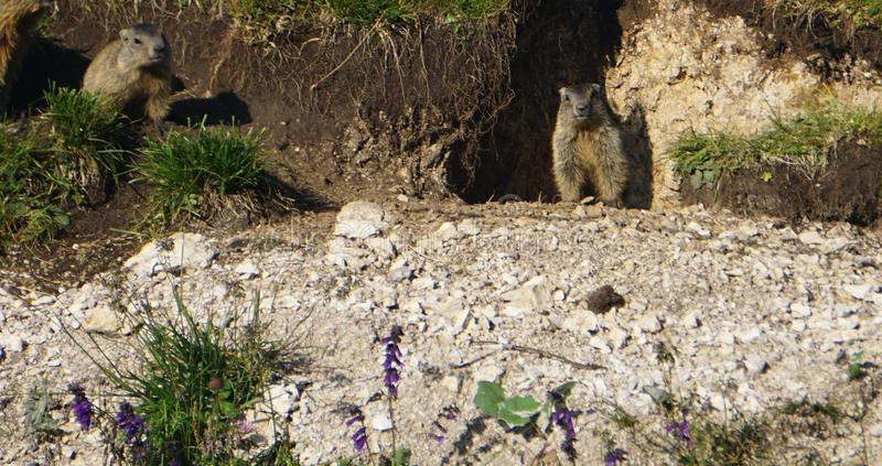 Marmot sitting on a green grass field in the mountains watching out royalty free stock photo