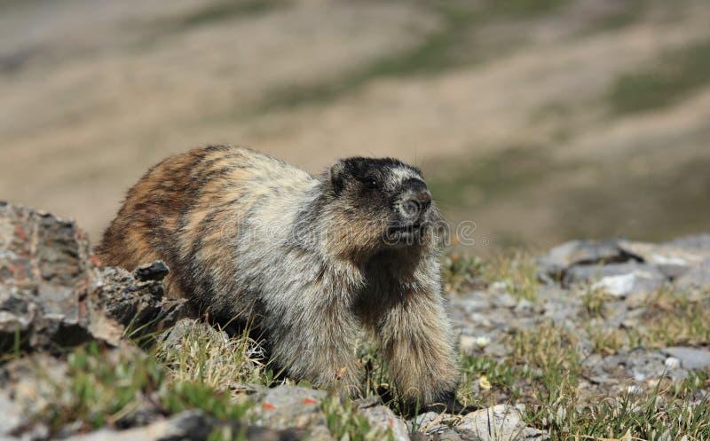 Marmot Stretch royalty free stock photo