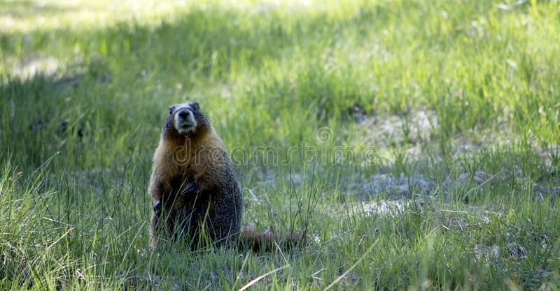 A Marmot Surveying is Territory royalty free stock photography