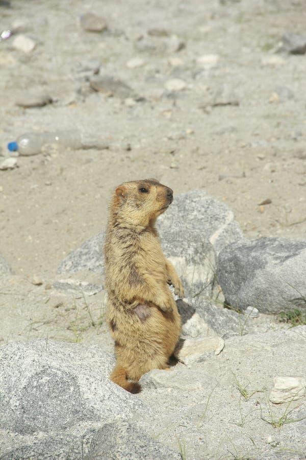 Marmot. stock images