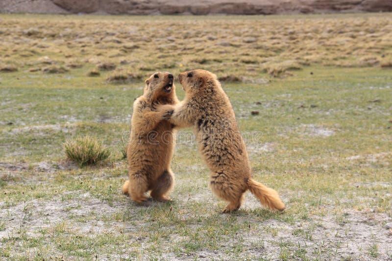 Marmot-5 stock photos