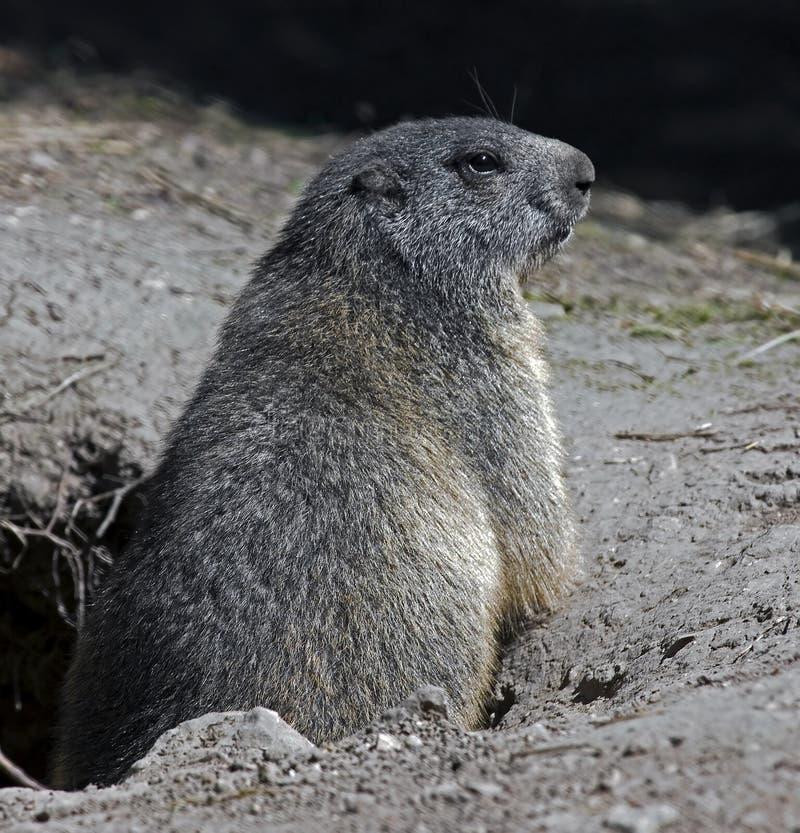Marmot 3 Stock Images