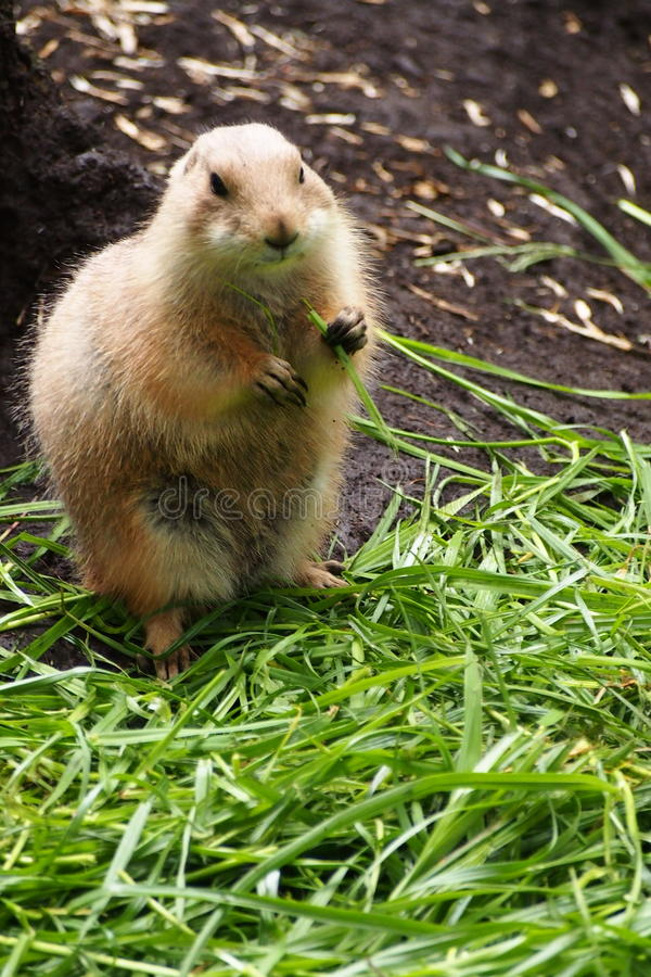 Marmot in Zoo stock photo
