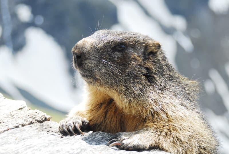 Marmota alpestre fotografía de archivo libre de regalías
