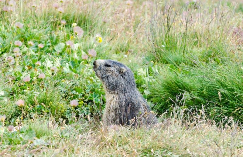 Marmota alpestre imagenes de archivo