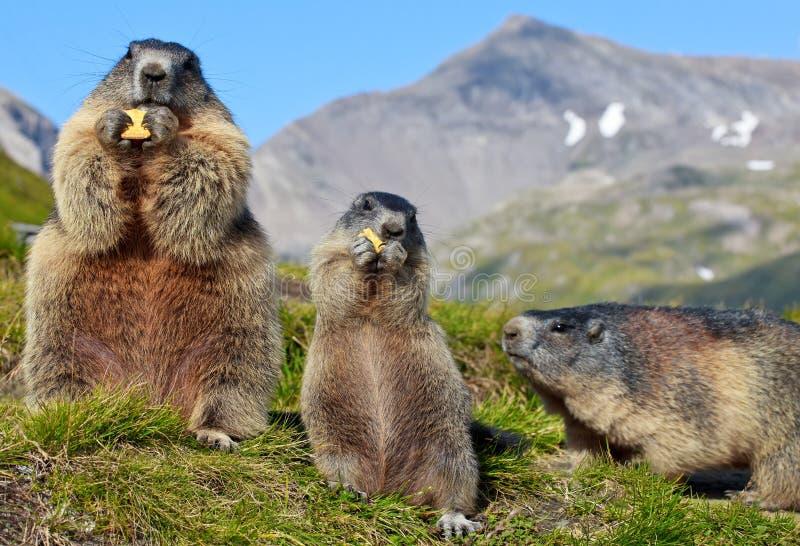 Marmota alpestre (marmota del Marmota) imagen de archivo