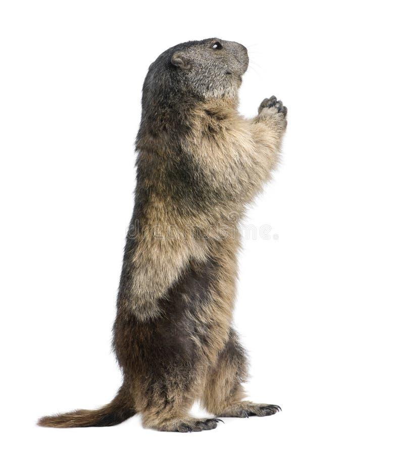 Marmota alpestre - marmota del Marmota (4 años) fotos de archivo libres de regalías