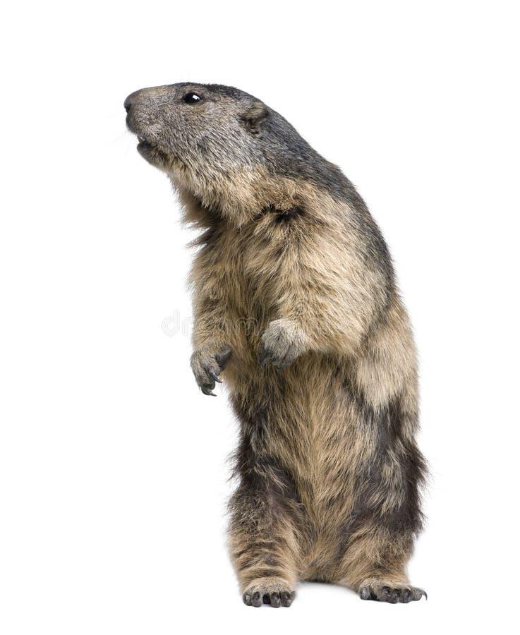 Marmota alpestre - marmota del Marmota (4 años) foto de archivo libre de regalías