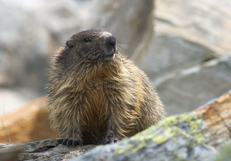 Marmota alpina, Alpenmarmot, marmota del Marmota fotos de archivo