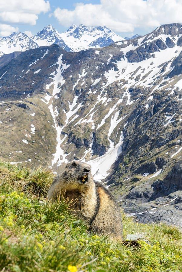 Marmota alpina - marmota del Marmota, montañas, Austria imagen de archivo