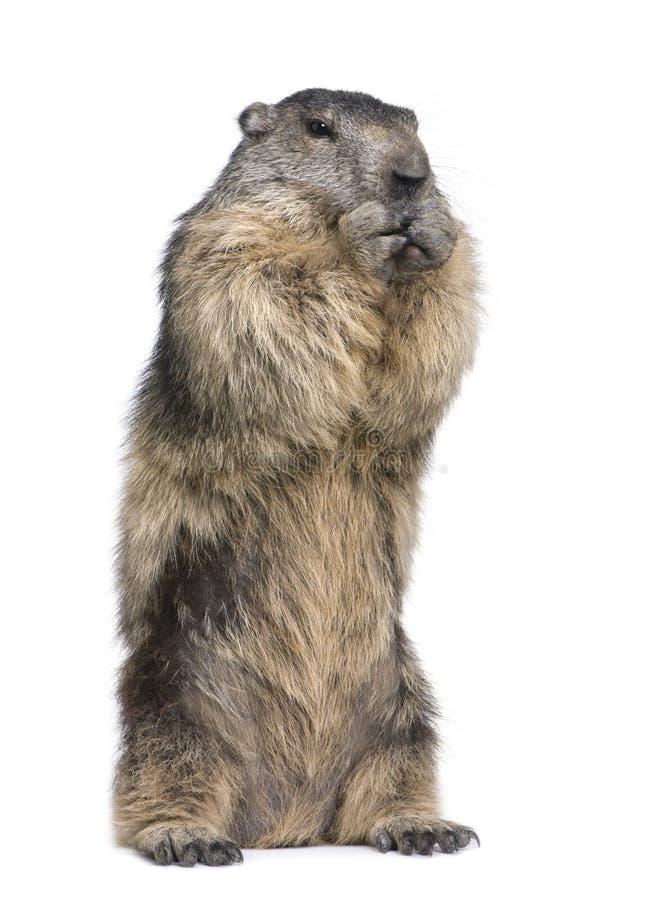 Marmota alpina - marmota do Marmota (4 anos velho) foto de stock royalty free