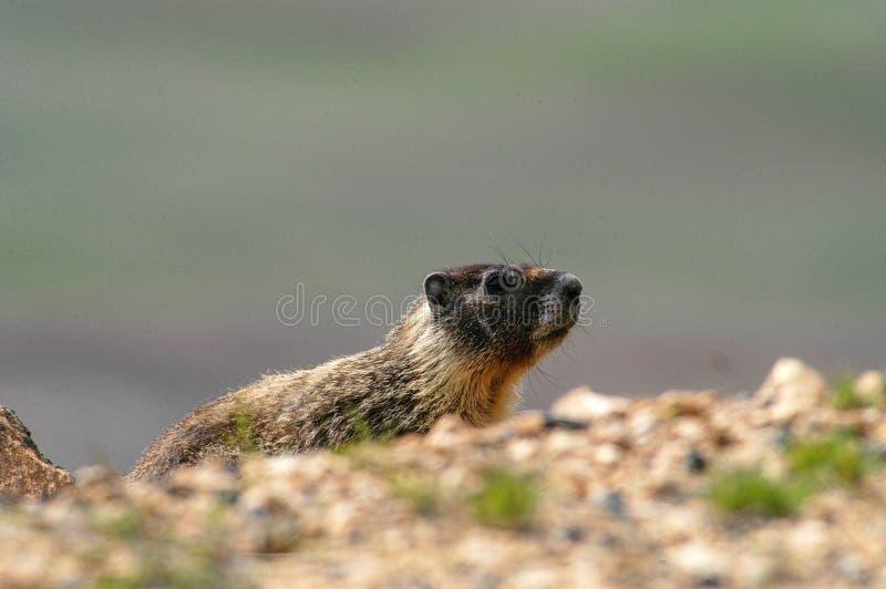 Marmota amarela no montículo de Steptoe imagem de stock royalty free