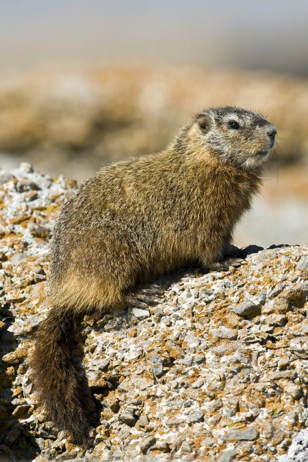 marmota caligata rockchuck στοκ εικόνες