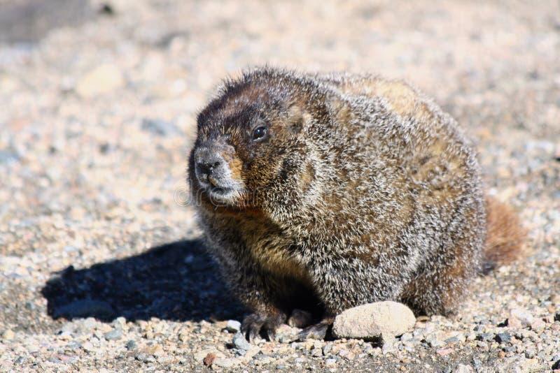 Marmota de la montaña rocosa imagen de archivo libre de regalías