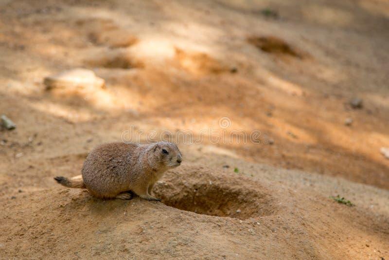 Marmota de pradera foto de archivo