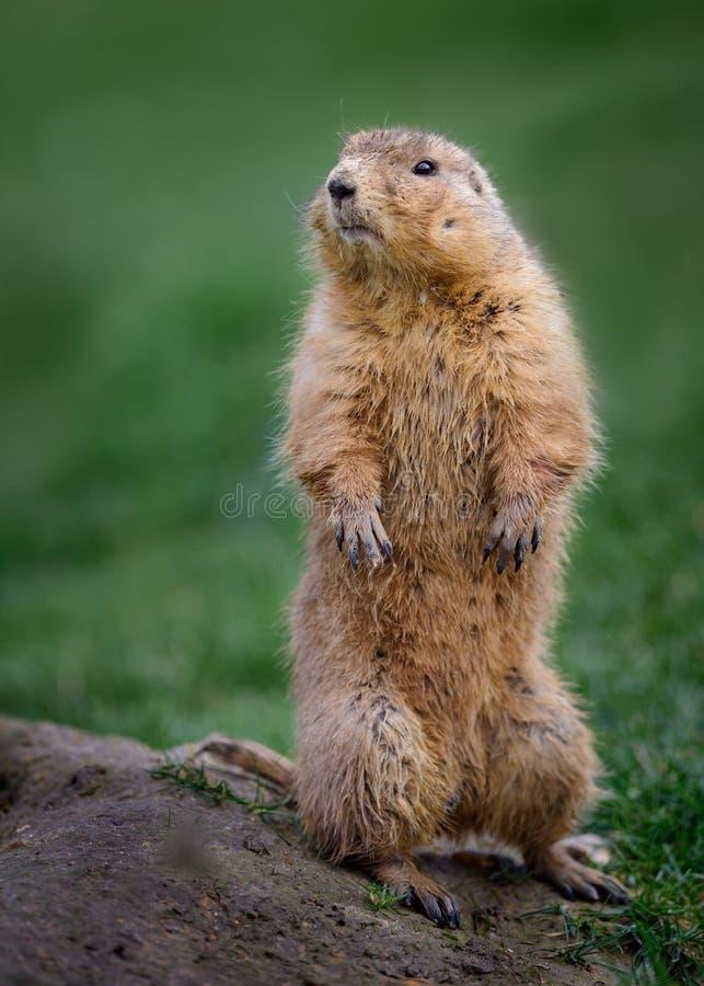 Marmota de pradera en el puesto de observación imagenes de archivo