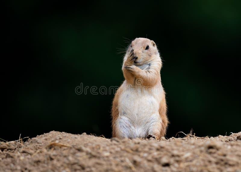 Marmota de pradera tímida fotografía de archivo