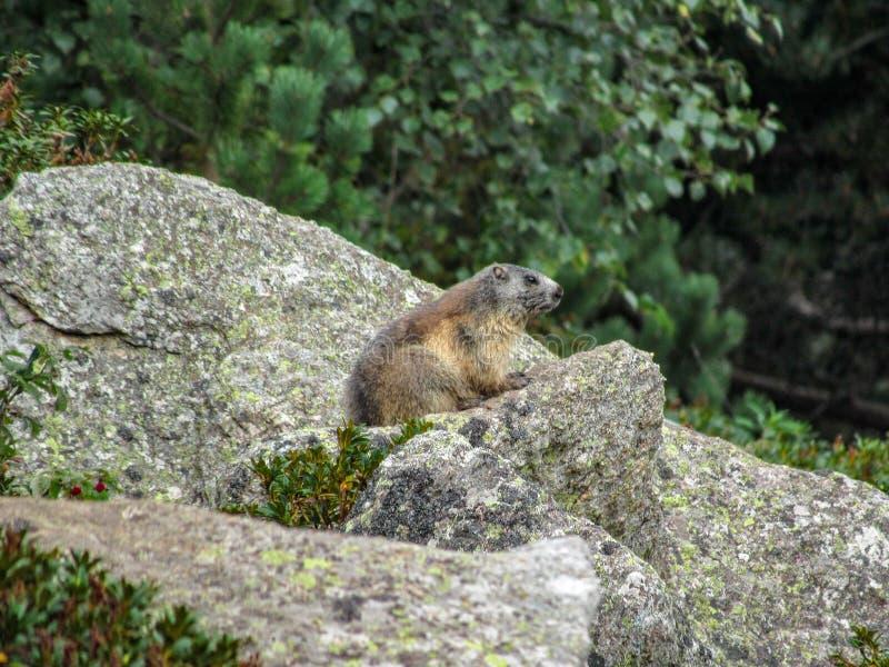 Marmota del Marmota de la marmota en el hábitat natural, los Pirineos, al sur de Francia fotos de archivo