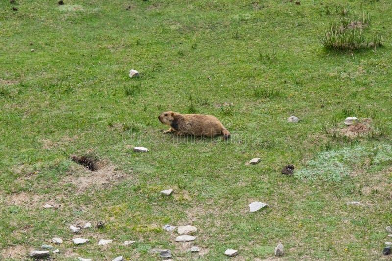 Marmota em torno da área perto do lago Tso Moriri em Ladakh, Índia As marmota são grandes esquilos vivos sob a terra imagens de stock