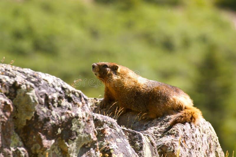 Marmota em uma rocha imagem de stock royalty free