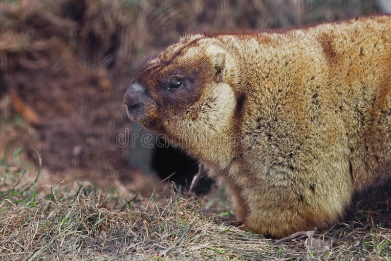 Marmota en primer del perfil marmota gorda con la piel hermosa que se sienta en la hierba verde imagen de archivo libre de regalías